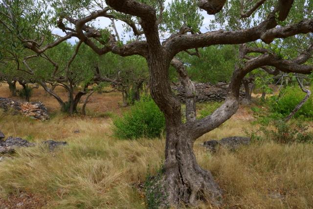 Olives trees at Cukrov field