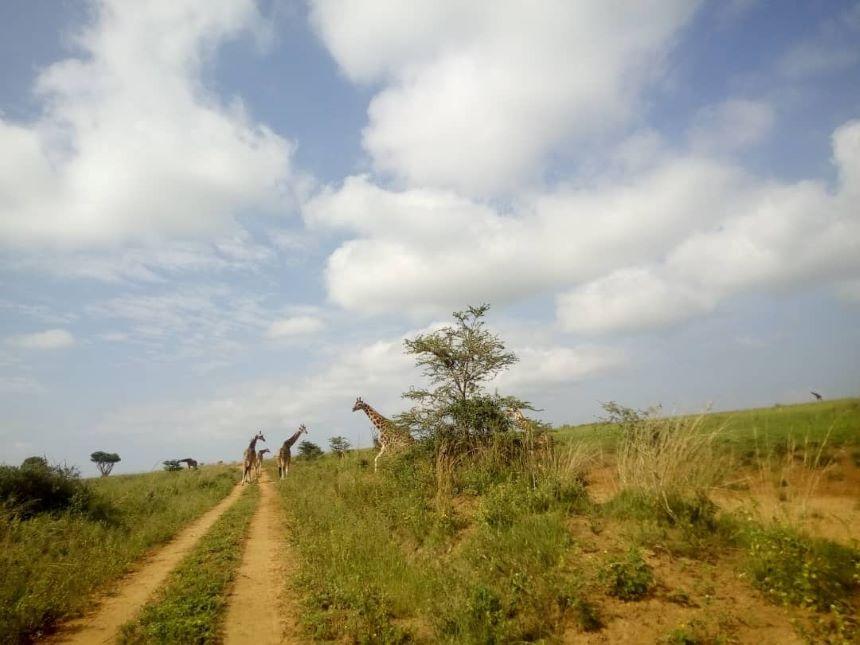 giraffes-uganda-safari