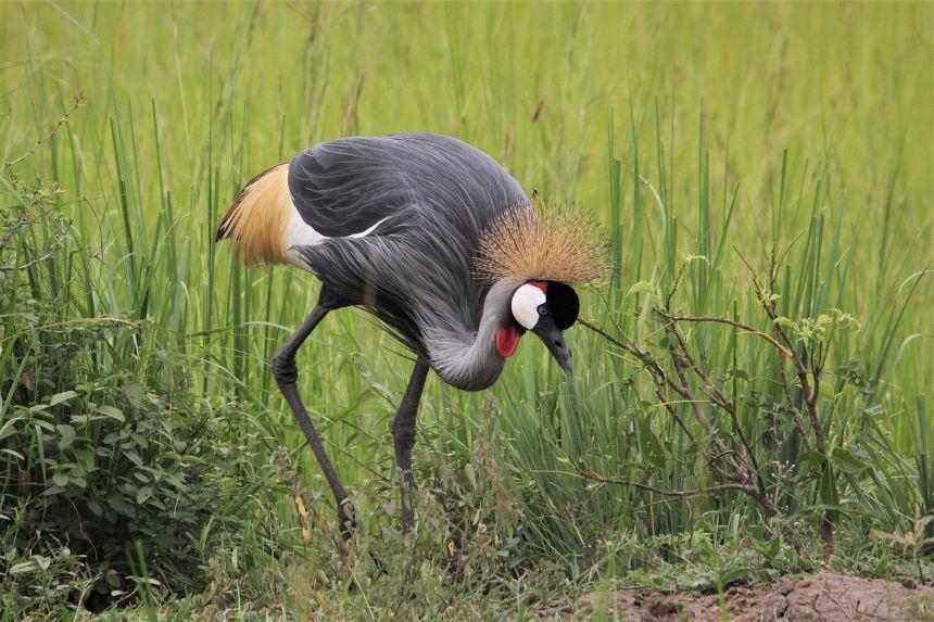 uganda-bird-safari-uganda